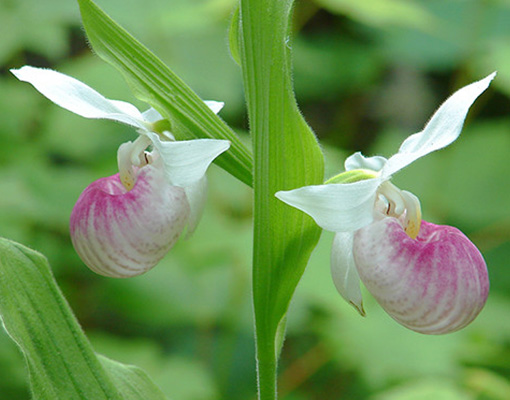 Showy lady's slipper flowers - the LadySlipper Inn B &B