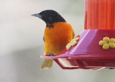 Oriole - The LadySlipper Inn B&B