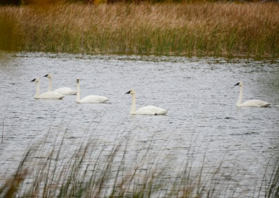 Trumpeter swans - The LadySlipper Inn B&B