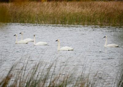 Trumpeter swans - The LadySlipper Inn B&B