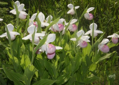Showy lady's slipper flowers - The LadySlipper Inn B&B